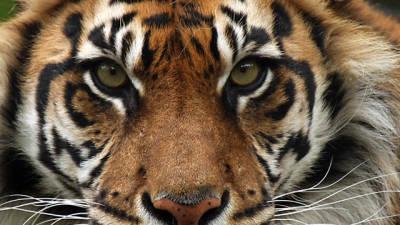 Detidos cinco suspeitos de caça ilegal de tigres de Sumatra detidos